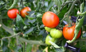 あましずく トマト フレッセイ